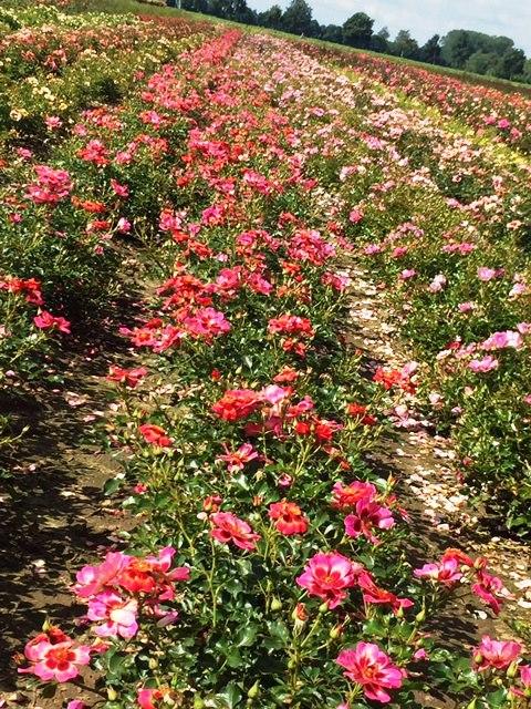 Interplant Roses B.V. breeder of garden rose varieties
