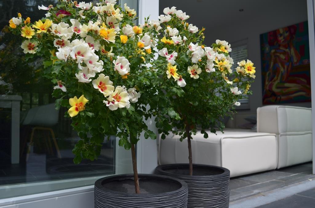 Interplant breeder of garden roses and Babylon Eyes range