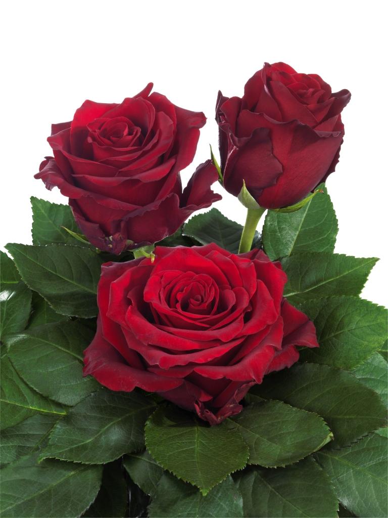 Interplant Roses breeder of red rose varieties
