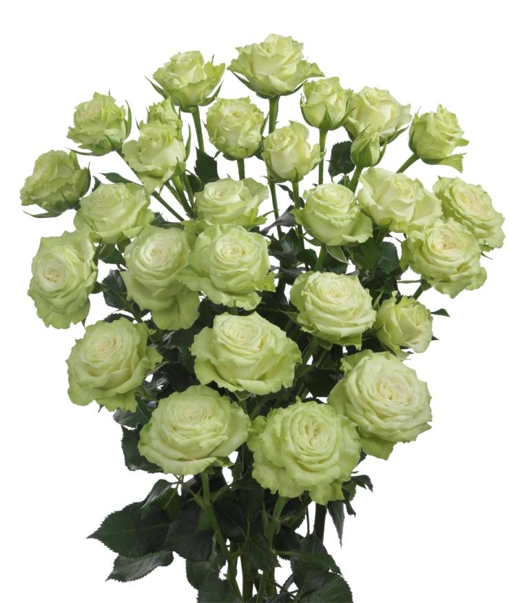 Interplant Roses B.V. Breeder of spray rose varieties