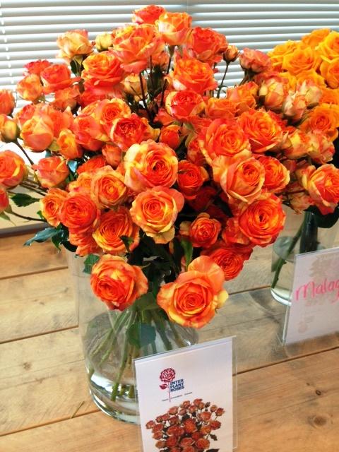 Interplant breeder of Intermediate Hybrid Tea and Spray Roses