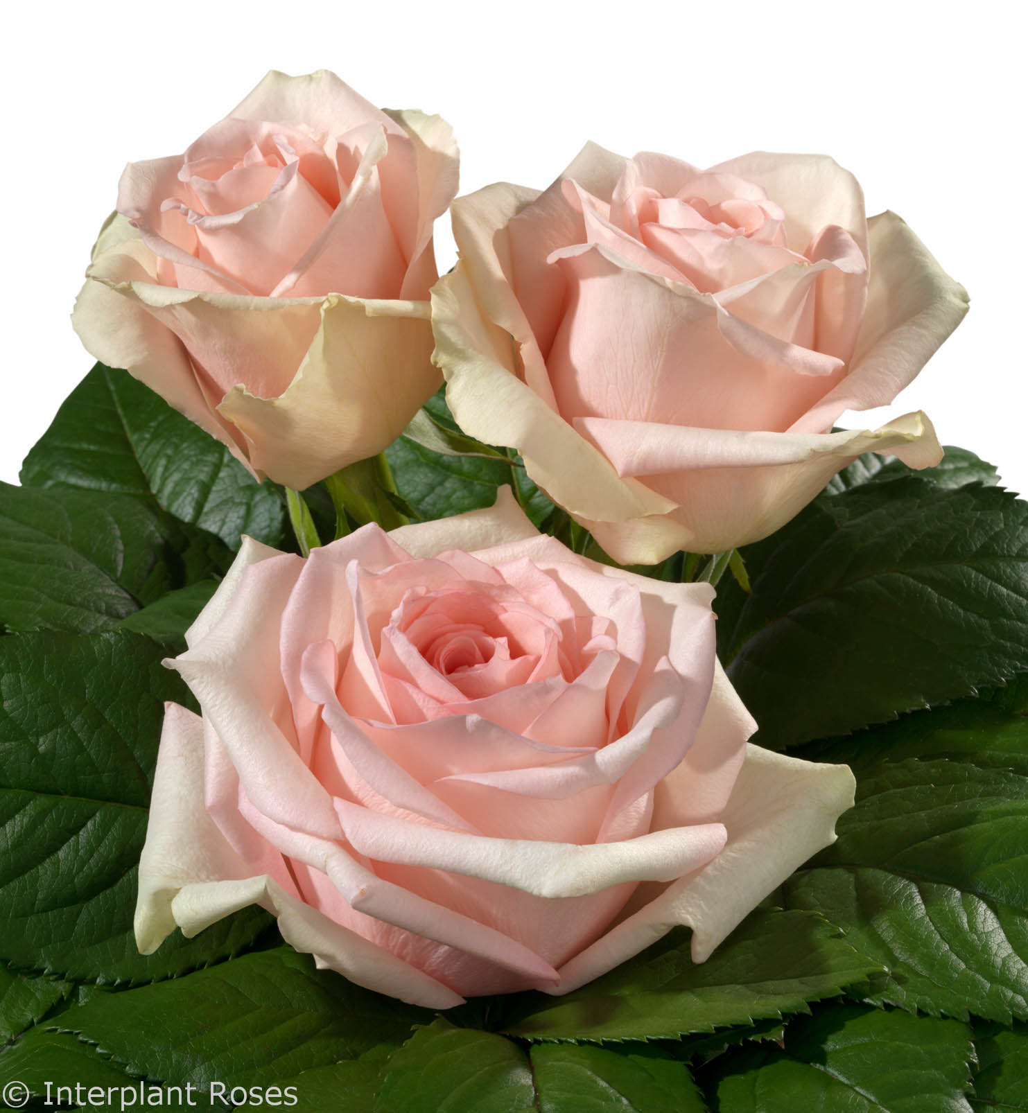 Interplant Roses breeder of Hybrid Tea Roses