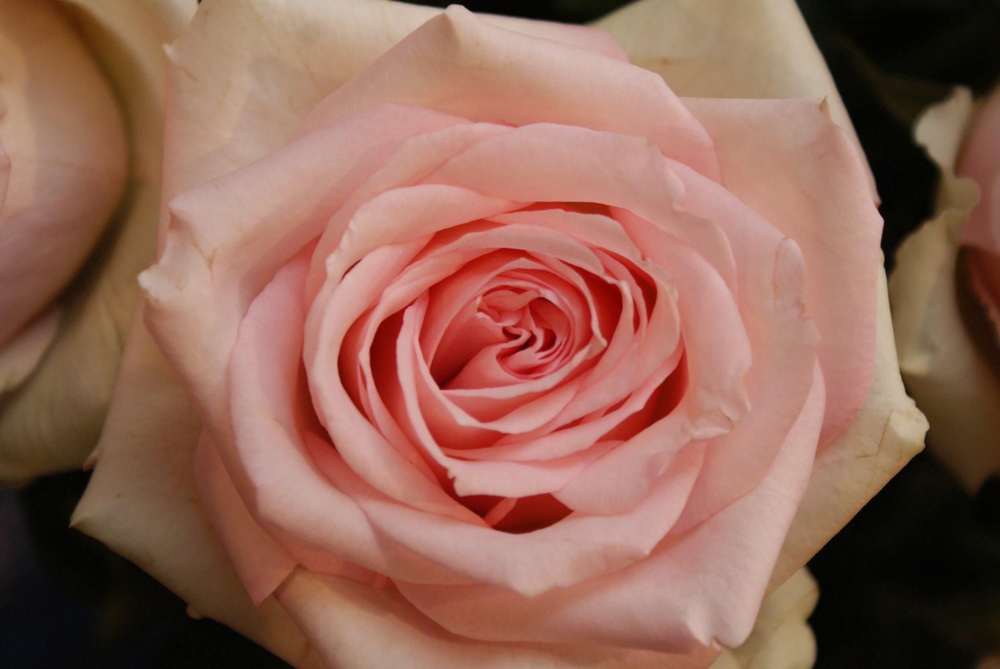 Interplant breader of hybrid tea roses