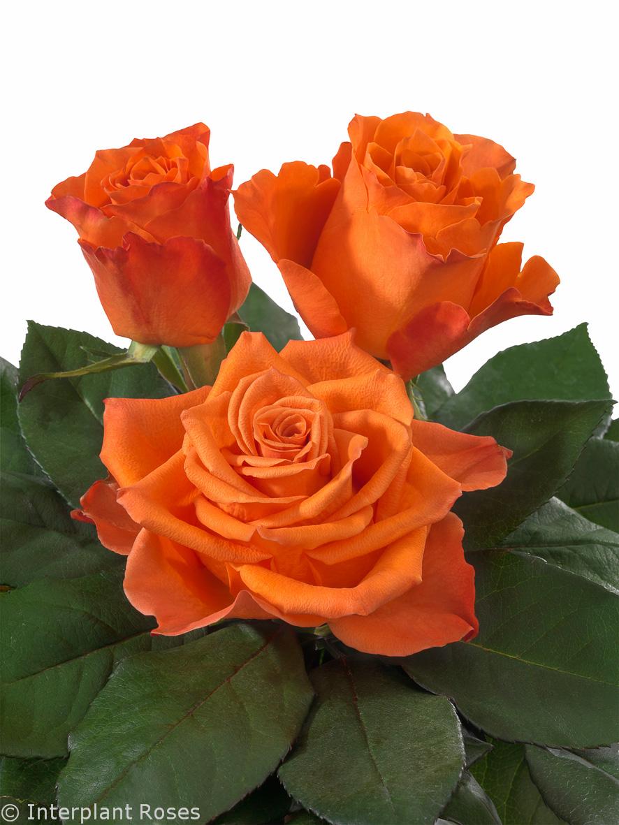 Interplant Roses breeder of Intermediate Hybrid Tea Roses