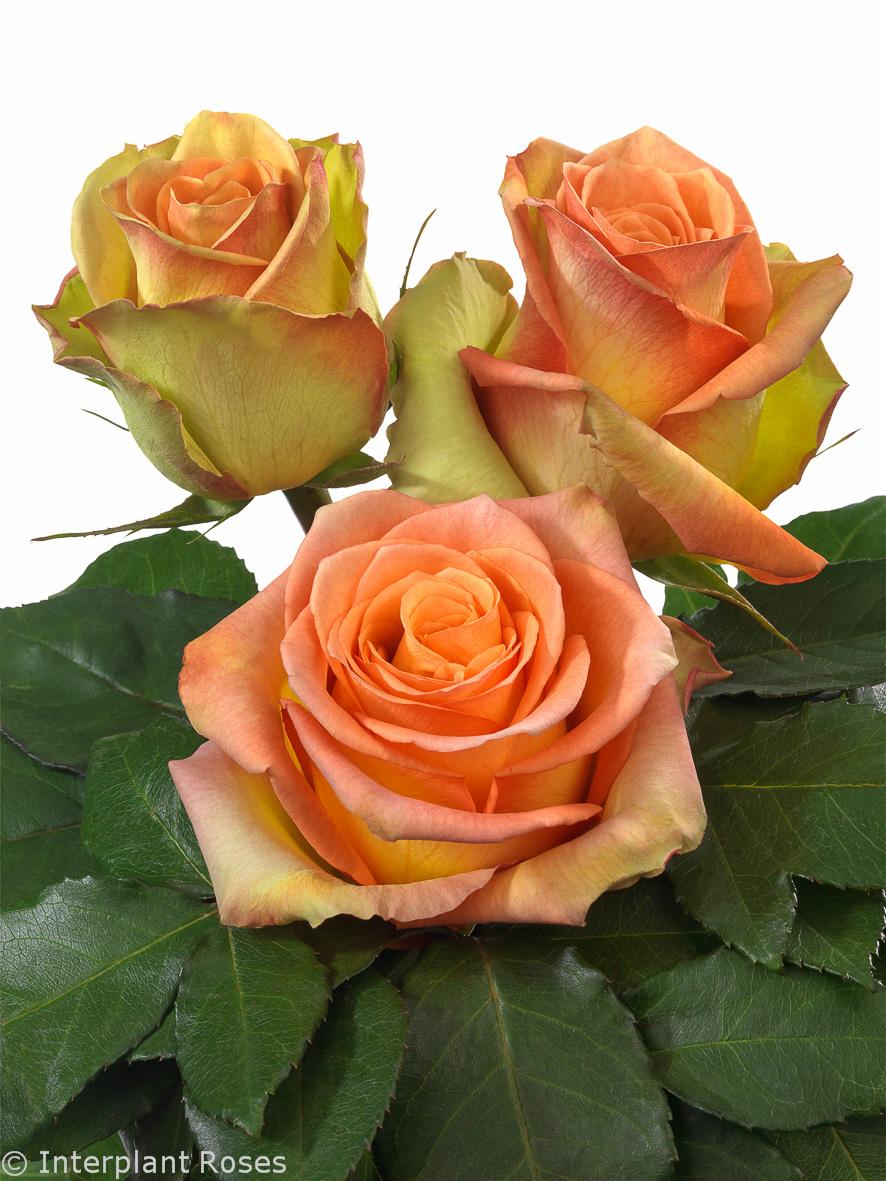 Interplant breeder of Hybrid Tea Roses