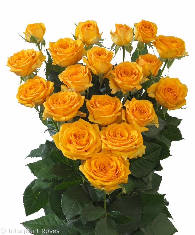 Interplant breeder of spray rose varieties