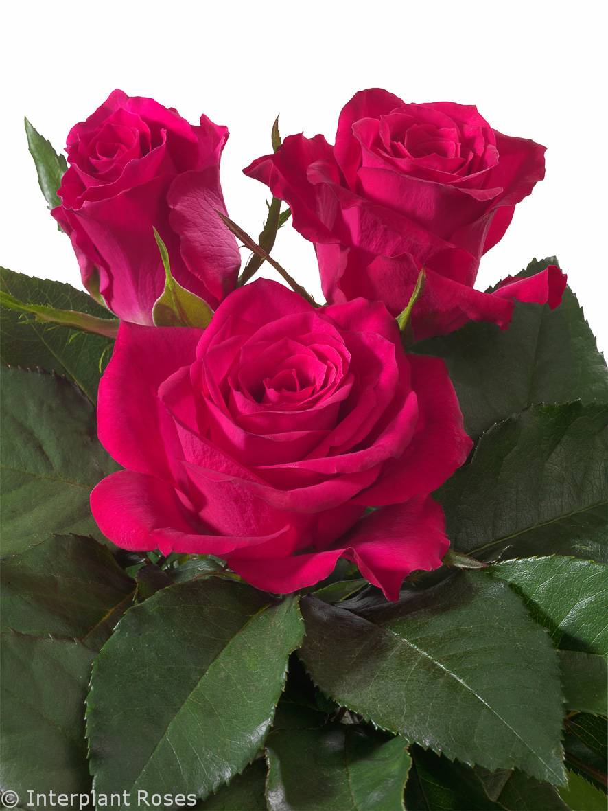 Interplant breeder of Intermediate Hybrid Tea and Spray Roses
