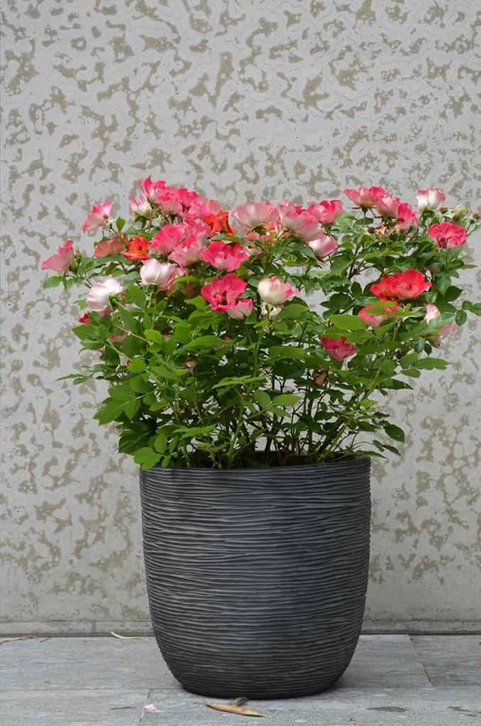 Interplant Roses B.V. Breeder of various rose varieties