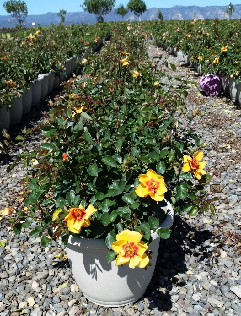 Interplant Roses breeder of garden rose varieties