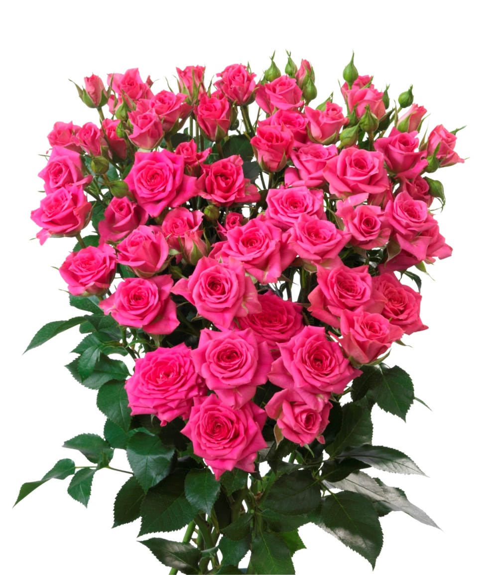 Interplant Roses breeder of spray rose varieties
