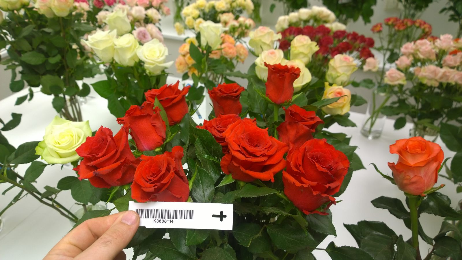 Interplant breeder of cut rose varieties