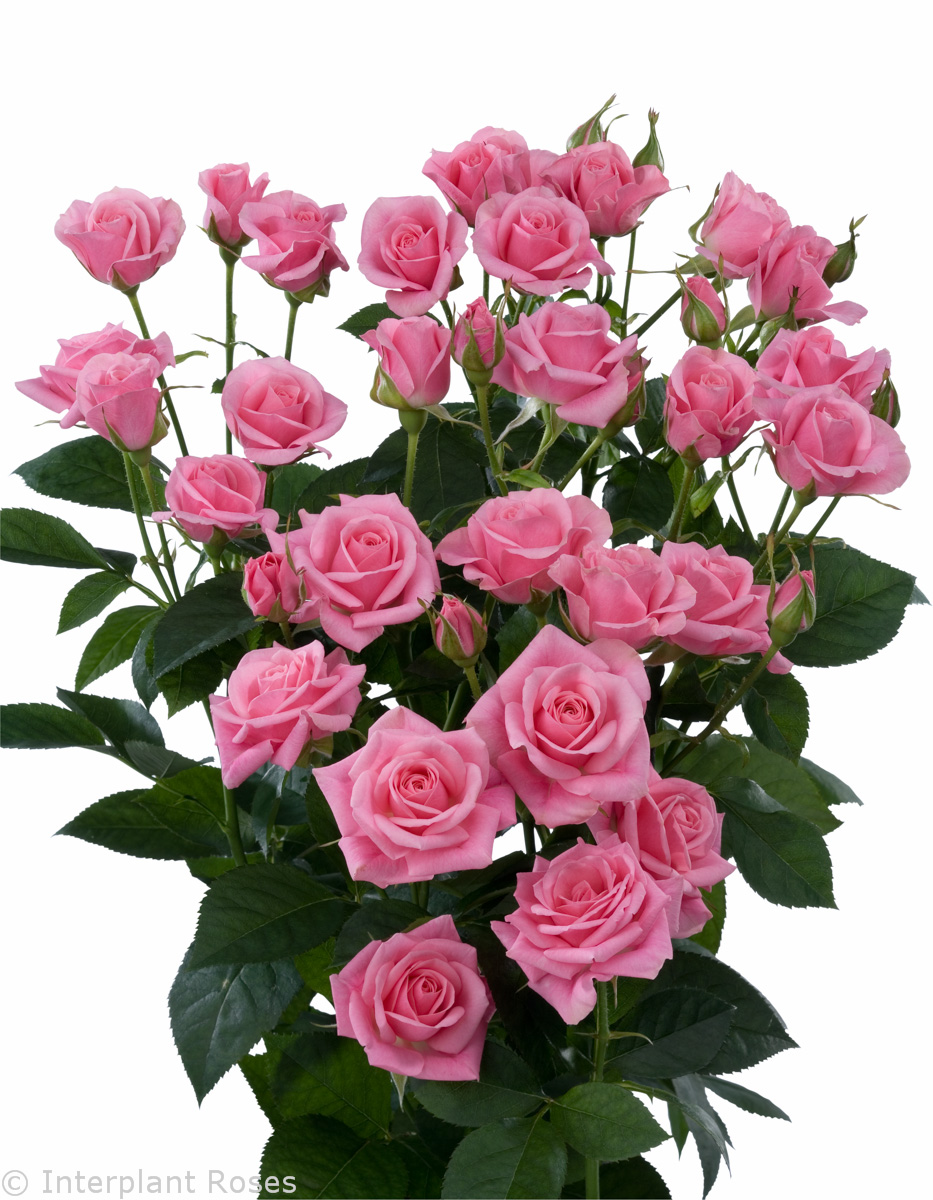Eileen Interplant Roses