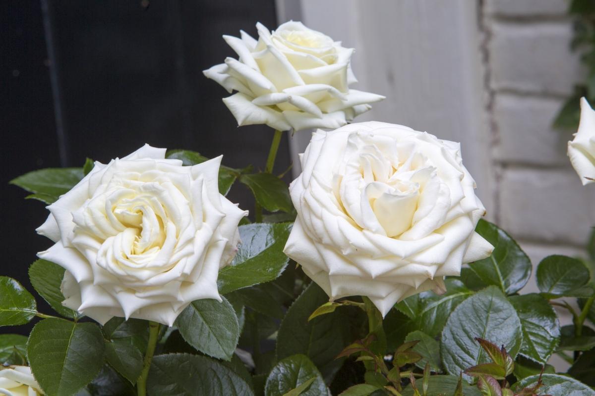 holiday island isle of white interplant roses