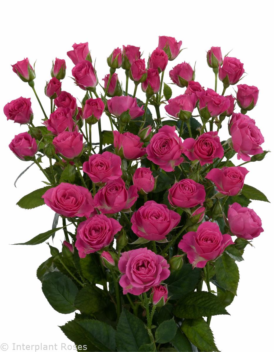 Роза кустовая голландия фото 5