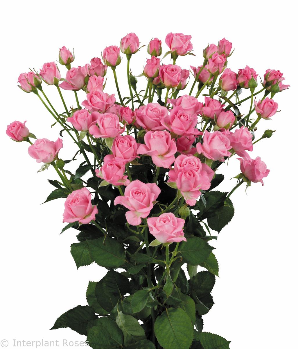 Роза кустовая голландия фото 6