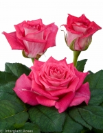 hybrid tea roses and sweetheart roses
