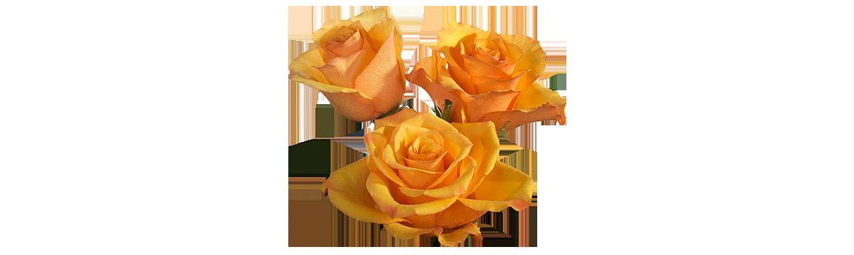 Hybrid Tea Rose characteristics Tycoon