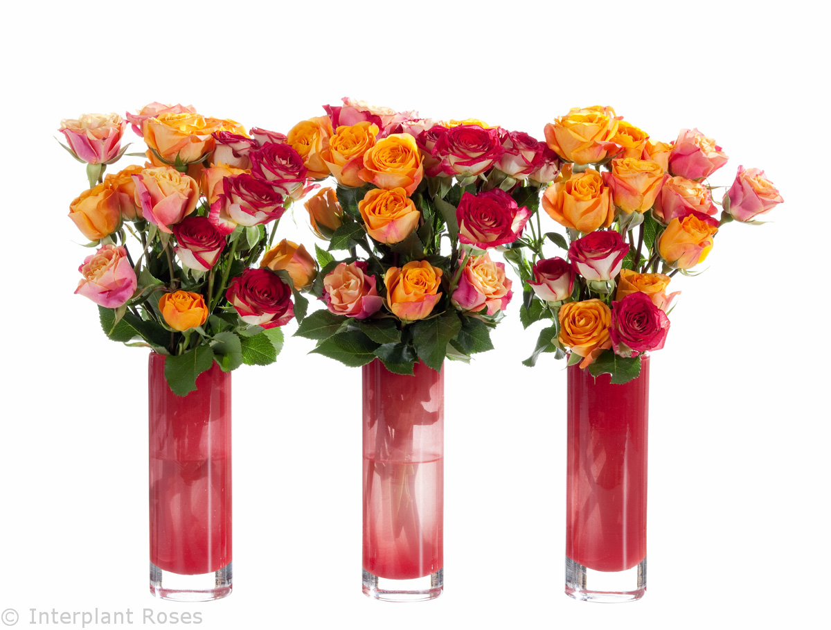 colorful spray roses