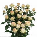 spray rose seedlings Arti