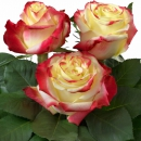 Interplant Breeder Hybrid Tea Rose