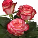 Interplant Roses Breeder Hybrid Tea Rose