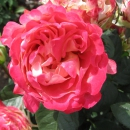 Interplant breeder Ruffle Roses
