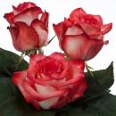 hybrid tea rose breeders Blush