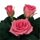 hybrid tea rose characteristics intermediate Boogy