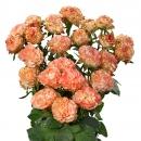 Interplant breeder various rose varieties