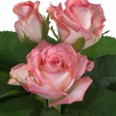 Interplant breeder Sweetheart roses