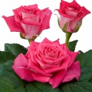 hybrid tea rose breeders Crossfire