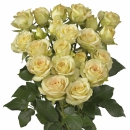 Interplant breeder spray rose varieties