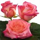 hybridization hybrid tea roses Extreme