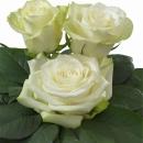 Interplant Breeder Hybrid Tea Roses