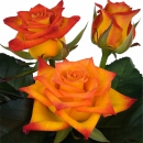 manual pollination intermediate hybrid tea rose Flame