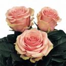 hybrid tea rose varieties Geraldine