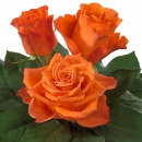 Interplant Roses breeder Intermediate Hybrid Tea Roses