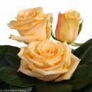 manual polination tea roses