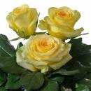 Interplant Roses breeder Hybrid Tea Roses