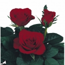 cross pollination sweetheart roses Rhythm