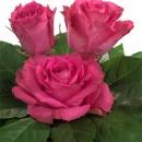 sweetheart rose characteristics Tavares