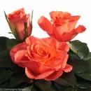 crossbreeding hybrid tea roses Trendy