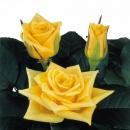 hybridization sweetheart roses Yellow