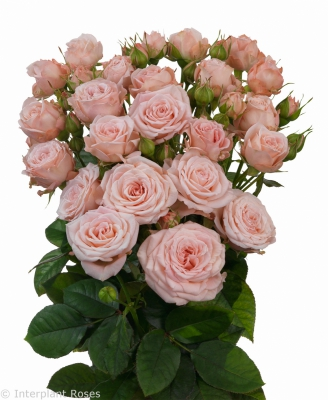 Interplant Roses breeder spray roses