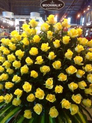 Moonwalk Intermediate Hybrid Tea Rose Agriflor Ecuador