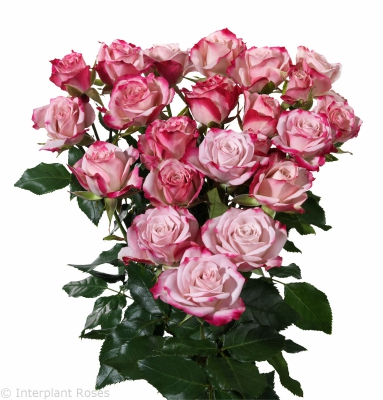 spray rose breeding Amy