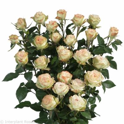 spray rose seedlings Arti