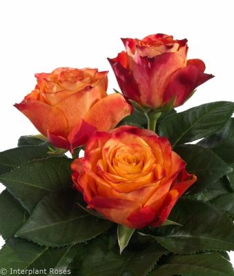 breeding tea roses Atomic