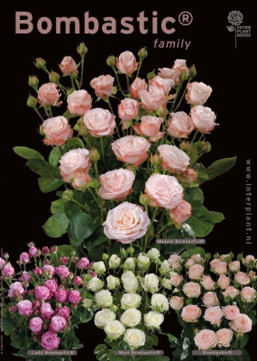 Interplant breeder of premium spray roses