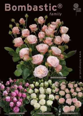 Interplant breeder of premium spray roses